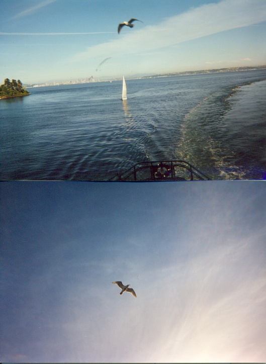 Two pictures of a seagull that eventually soared, Puget Sound off Bainbridge Island, WA, May 21, 2001. (Donald Earl Collins).