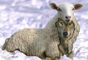 Wolf in sheep's clothing, a false prophet (a symbol of my ex-stepfather), November 2008. (Source/flickr.com)