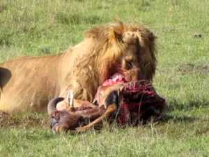 "Lion eating wildebeest - ""animals"" was what administrators & White classmates sometimes called MVHS students, but ironically referencing themselves, September 5, 2013. (YouTube)."