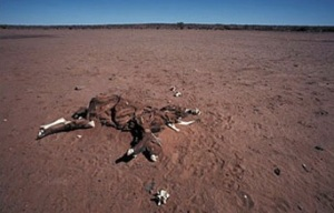 Emaciated and dead cow in desert, Australia, 2009. (Government of Australia via http://www.nsf.gov/news/).