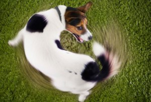 Terrier dog chasing its own tail, March 3, 2015. (http://webmd.com).