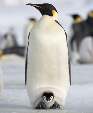 Daddy Emperor Penguin with baby penguin, accessed July 31, 2016. (National Geographic via http://pinterest.com).